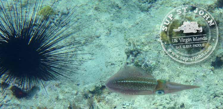 snorkeling-stjoh-reef-squid