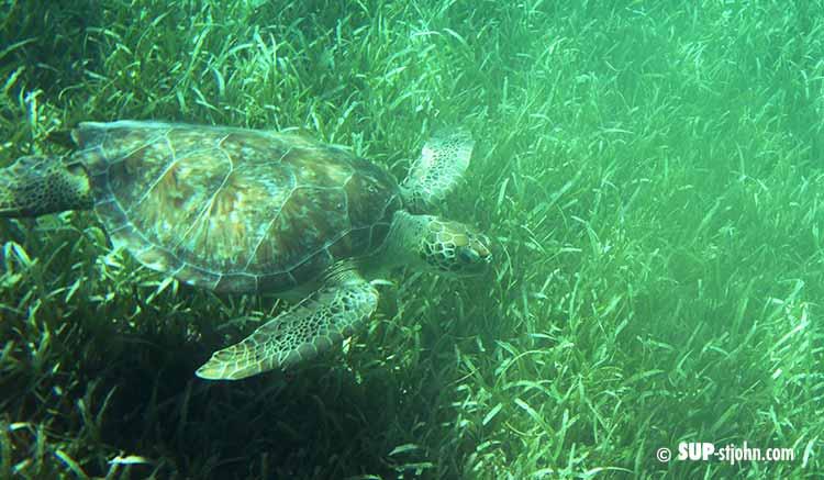 Sea Turtle St. John USVI