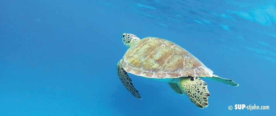 sea-turtle-stjohn-sup-paddleboard